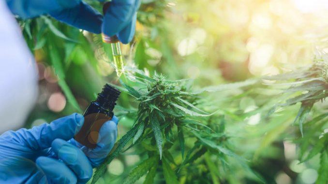 San Martín regulará el autocultivo de cannabis para uso medicinal