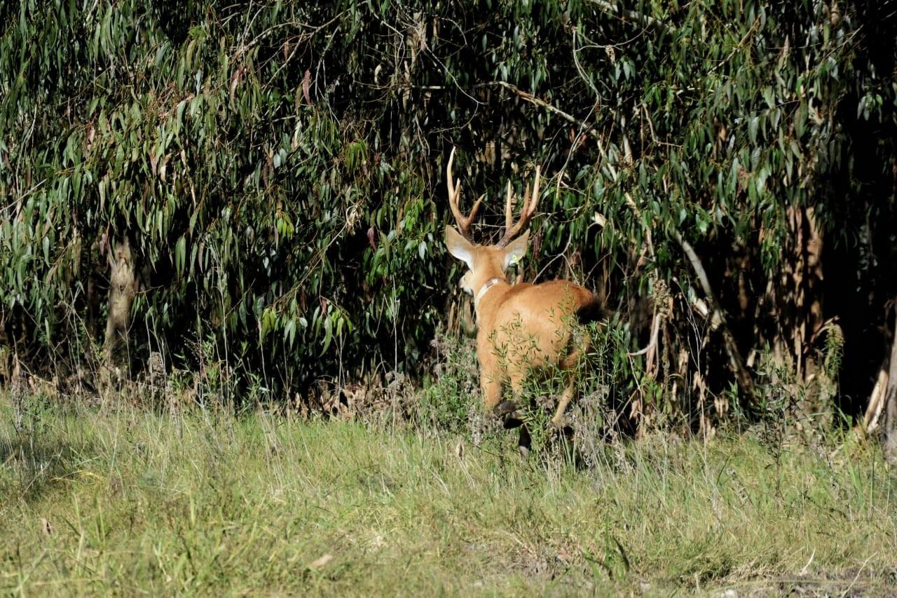 Primer avistaje de Ciervo de los Pantanos en la Reserva Natural Isla Martín García