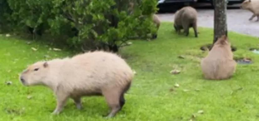 Invasión de carpinchos en Nordelta: atacaron a un perro y hay preocupación